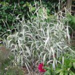 Variegated ribbon grass