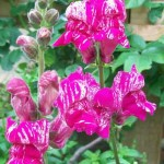 Antirrhinum Purple Twist