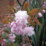Double pink ornamental cherry blossom