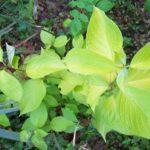 Cornus aurea's summer foliage