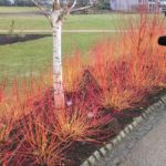 Cornus Midwinter Fire and Betula Greywood's Ghost at RHS Harlow Carr