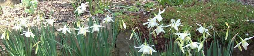 Daffodil Thalia