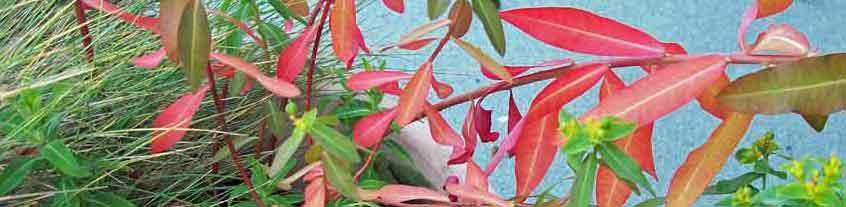 Euphorbia autumn