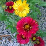 Gaillardia (blanket flower)