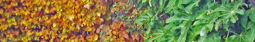 Beech Fatsia hedge