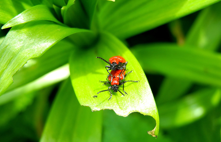 Red lily beetles mating