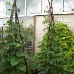 Runner bean supports made out of Phormium flower stems