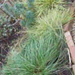 Stipa gigantea and Carex