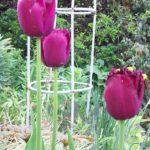 Tulip Curly Sue
