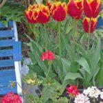 Tulip Lambada