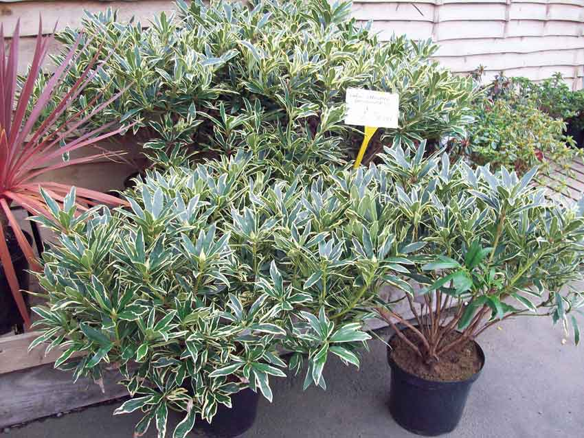 Variegated Rhododendron