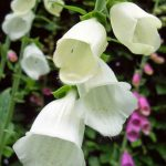 White variant of native foxglove
