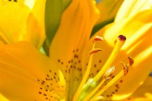 Yellow Bouquet lily