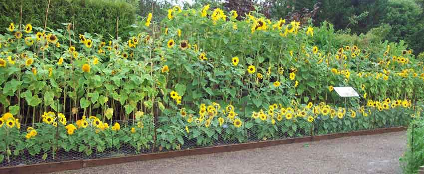 Sunflowers RHS Harlow Carr