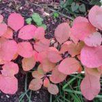 Cotinus (smoke bush)