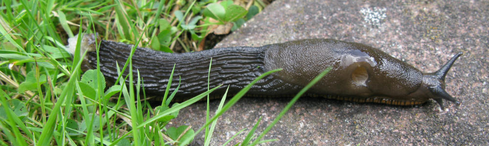Slug Arion ater group Picture RHSAndrew Halstead web