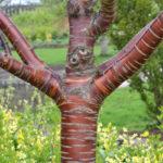 Stunning coral bark maple