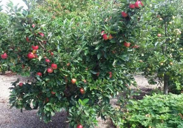 Apple tree in the Community Garden