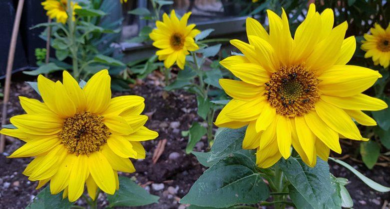Sunflower Dwarf Yellow
