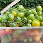 Tomatoes just starting to colour will still ripen