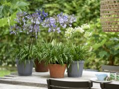 Perfect table decorations... blue and white Agapanthus. Picture; thejoyofplants.co.uk