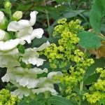 Antirrhinum Royal Bride and Alchemilla (lady's mantle)