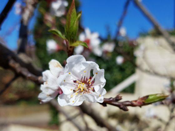 Apricot Kioto - loves a good mulch