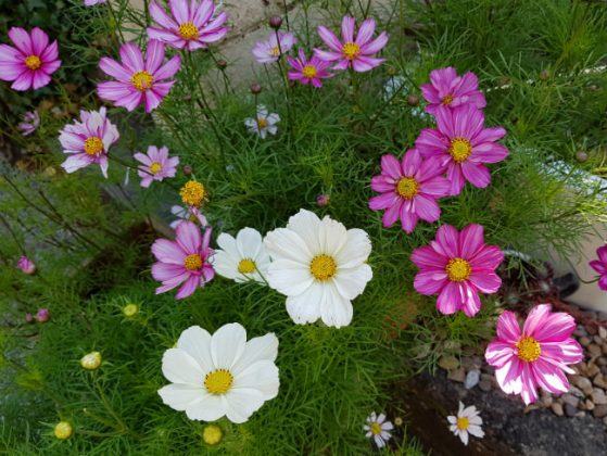 Cosmos from old packets of seed