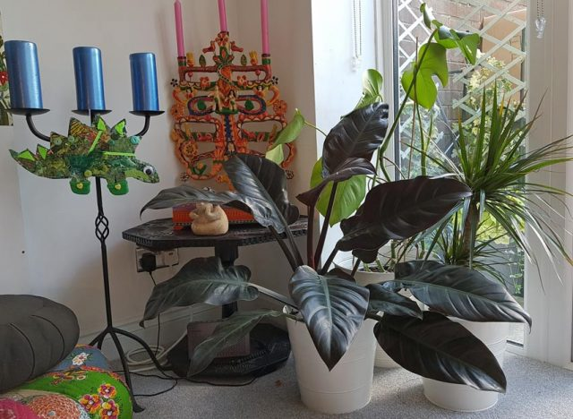 Philodendron, Monstera and Dracaena
