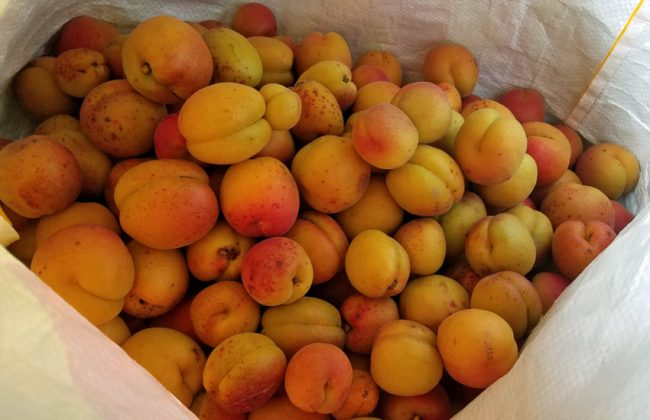 Bag for Life-full of apricots