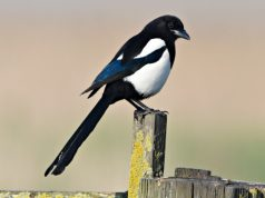 Magpie. Picture; RSPB Richard Brooks