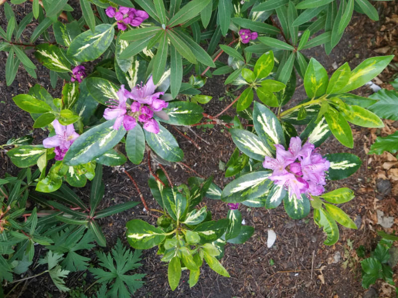 Rhododendron Goldflimmer, May 26