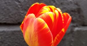 Flame tulip, May 1