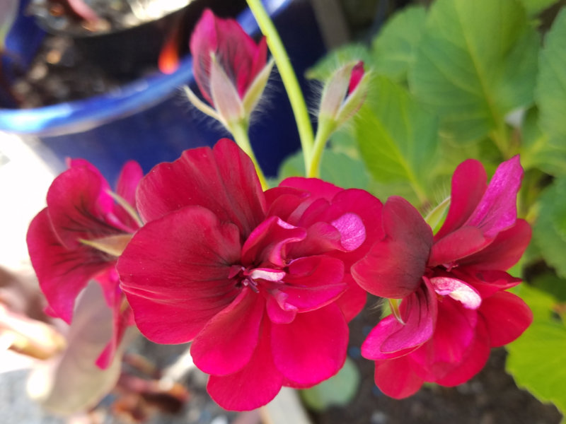 Geranium Tommy, May 20