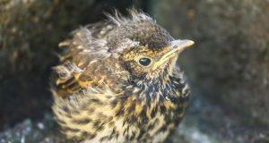Song thrush fledgling