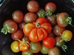 Rosella, Reisetomate, Maskotka, Yellow Pear and Apero tomatoes