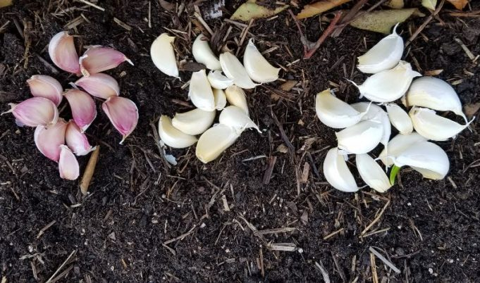 Garlic Marco's cloves - one bulb with a distinctive pink tinge!